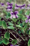 Viola uliginosa